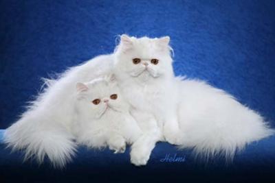 Cute Persian and Bengal