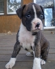Sweeeties Boxer puppy for rehome