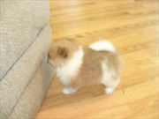 Minion and lovely pomeranian puppies for adoption