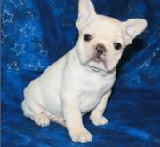 Fantastic French Bulldog Puppies For Sale
