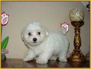 xmass maltese puppies .