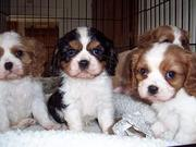 king charles cavalier puppies available for adoption