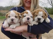 Englishbulldog puppies