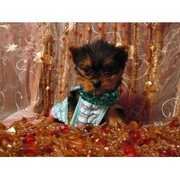 male and female yorkie puppies availabel