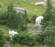 For SAle Mountain Goats x2