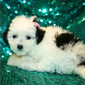 cute lovelyand playfulMaltipoo Puppies for sale
